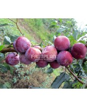 Ameixa Blood Plum